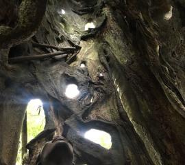 Strangler Ficus tree at the Aburi Botanical gardens